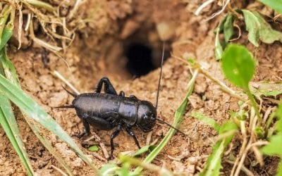 Crickets in the basement? Learn why and how to get rid of them